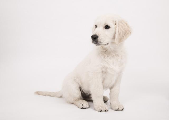 zlatý retrívr štěně